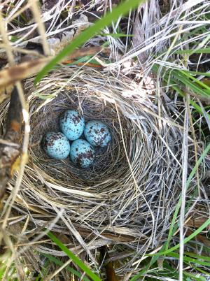 song_sparrow_eggs